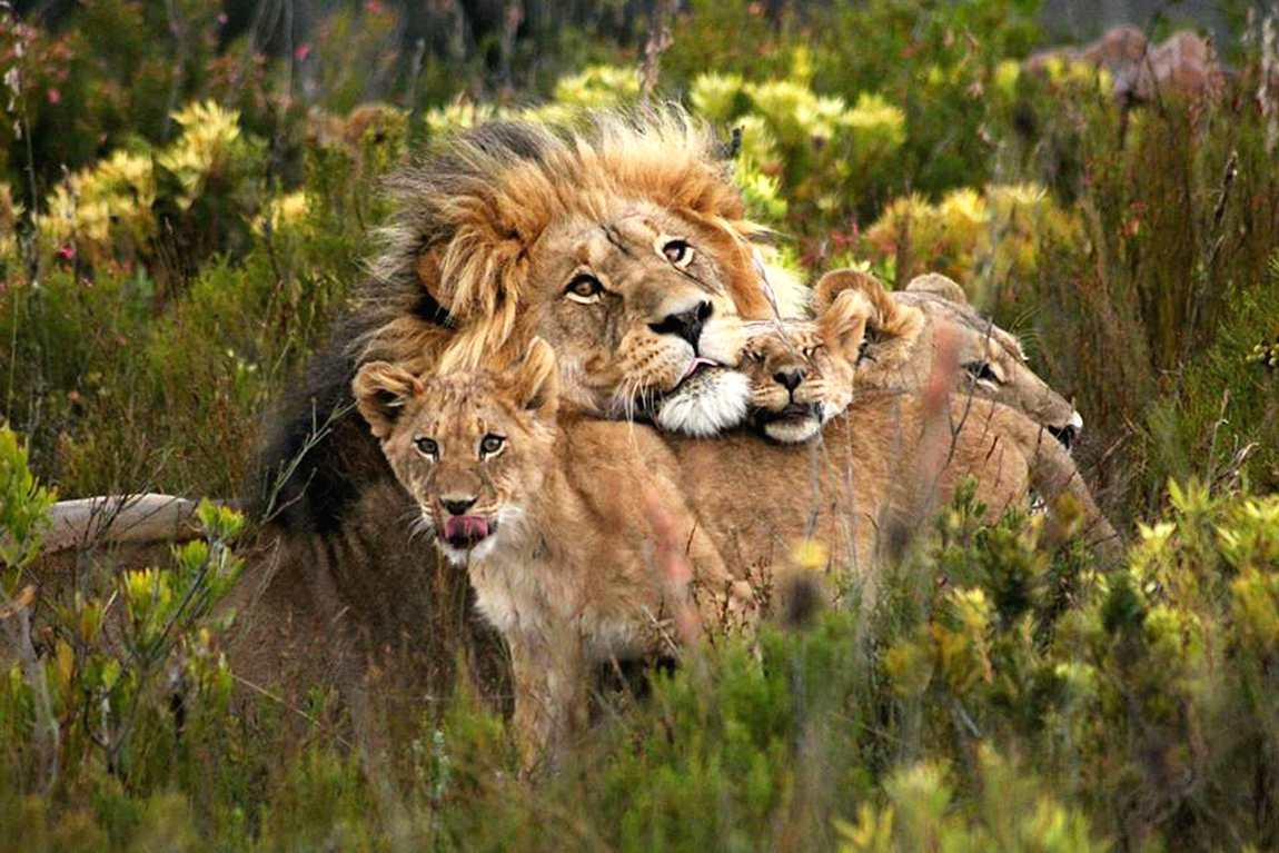 wildlife safari africa lions tanzania experience travel